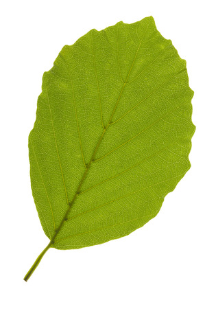 single leaf of beech tree isolated over white background Banco de Imagens