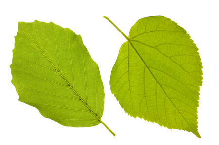 single leaf of beech and linden tree isolated over white background
