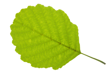 single leaf of alder tree isolated over white background 写真素材
