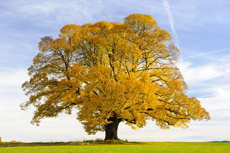 single big old linden tree at autumn