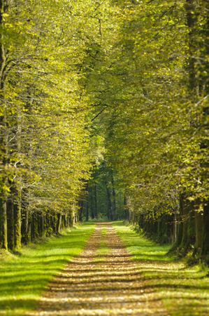 avenue with beautiful linden trees and footpath Stock Photo