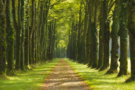 avenue with beautiful linden trees and footpath Foto de archivo