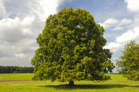 single big linden tree in field with perfect treetop 스톡 콘텐츠