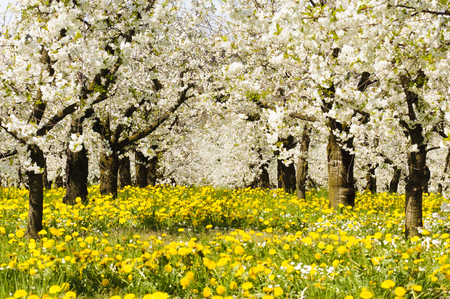 Many blooming apple trees in row on field with spring flowers Stock fotó - 99689724