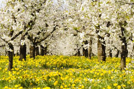 Molti di melo in fiore in fila sul campo con fiori di primavera Archivio Fotografico