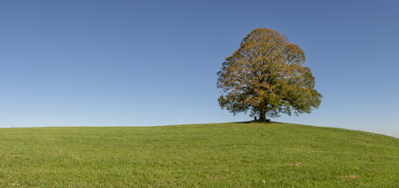 panoramic view to single big linden tree Stock Photo