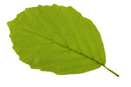 leaf of beech tree