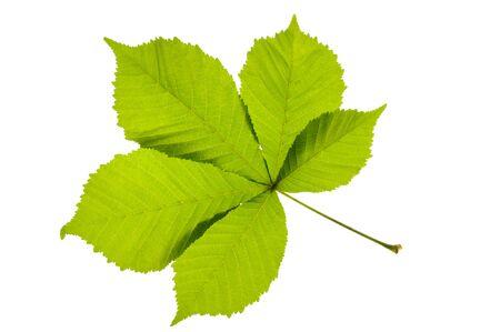 leaf of chestnut tree