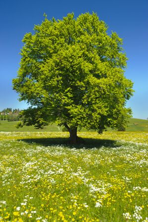 perfect single beech tree in meadow at spring