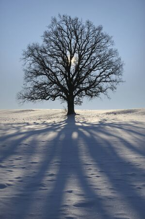 perfect single beech tree in meadow at winter