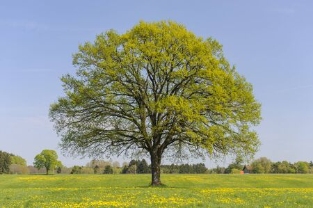 single linden tree in meadow at spring Stock fotó