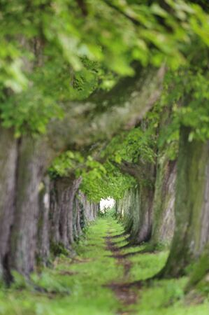 tree-lined alley with footpath in middle Archivio Fotografico