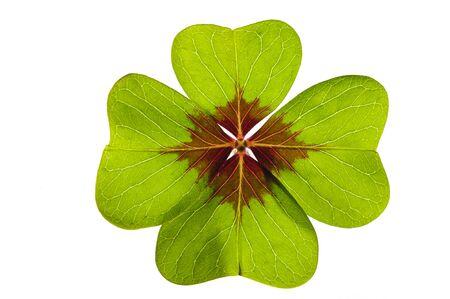 isoliertes Kleeblatt als Glückskerm Standard-Bild