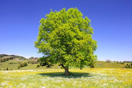 single beech tree with perfect treetop in meadow