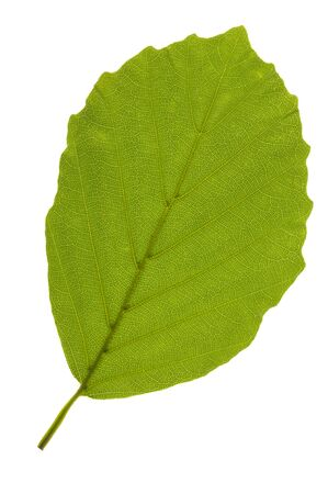 single leaf of beech tree isolated over white background