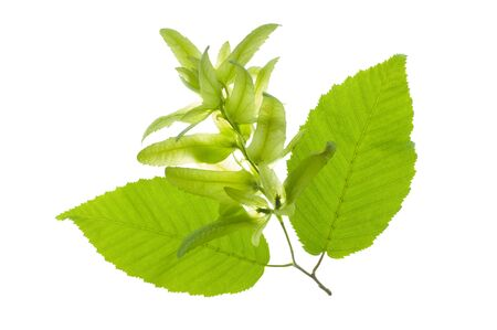 leaf of hornbeam tree with pollen isolated over white background