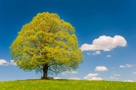 big old lime tree with perfect treetop in springtime Imagens