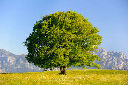 single big old deciduous tree in meadow at springtime