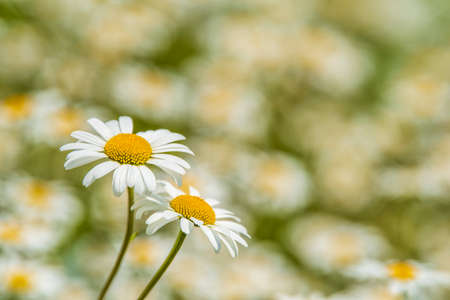 blooming marguerite in meadow at spring Stock Photo