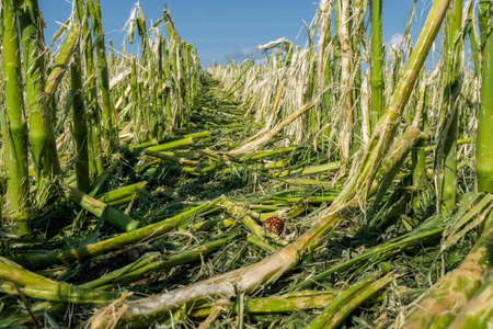 Hail damage and heavy rain destroys agriculture and maize fields