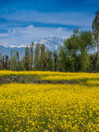 kashmir: Mustard field in Kashmir India Stock Photo