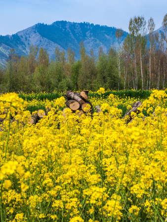 mustard field: Mustard field in Kashmir India Stock Photo