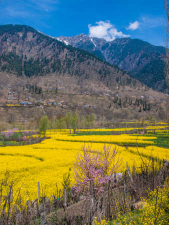 kashmir: Mustard field in Kashmir India Stock Photo