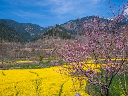 Mustard field on the way to Srinagar Kashmir India