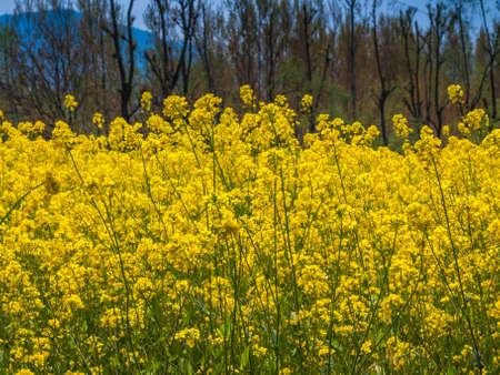 Mustard field in Kashmir, India