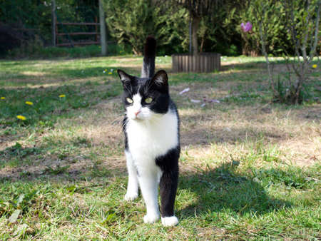 Stojący biało czarny kot w ogrodzie na tle zieleni, ciekawe spojrzenie Publikacyjne