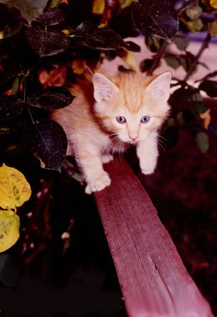 Kitten sneaking on fence in bushes