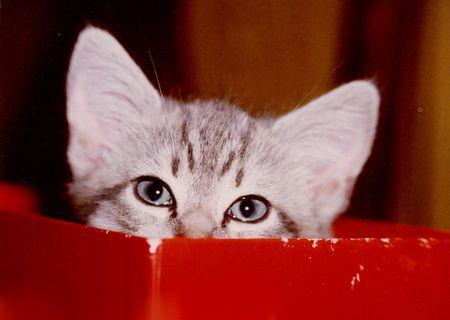 Kitten in red box