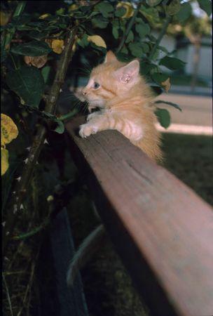 Blond kitten hanging fm rail fence Stock Photo