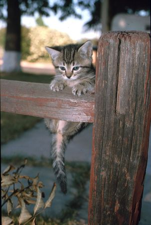 Stripped kitten haning from fence