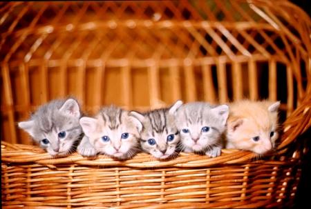 5 kittens in a wicker basket