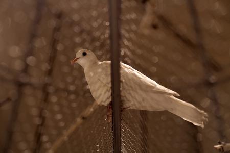 White pigeon Reklamní fotografie