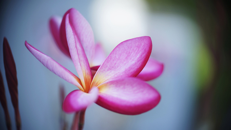 Beautiful plumeria flowers in full bloom photo
