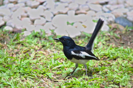 Oriental magpie-robin has black upperparts, head and throat apart from a white shoulder patch. It can be found in South and Southeast Asia. Stock Photo