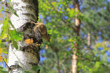 observes: Nimble curious striped Chipmunk observes from birch Stock Photo