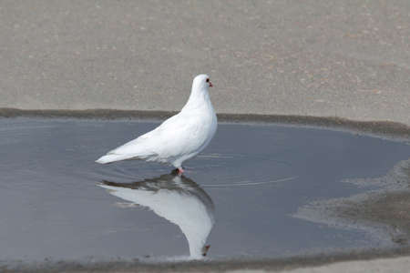 thirsty bird: White dove is reflected in a puddle on the pavement