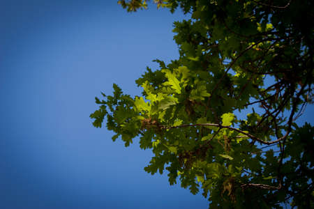 oak leaf against the blue sky Stock Photo - 13598685