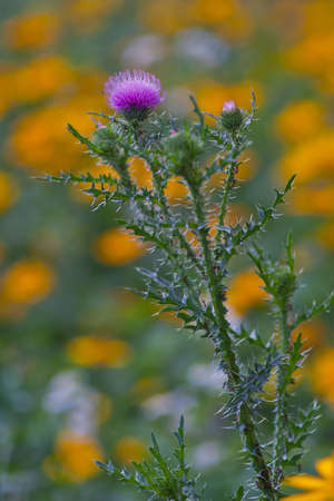 poky: Pink Thistle flower on a yellow flowers background