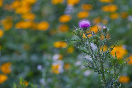 poky: Pink Thistle flower on a yellow flowers horizontal background