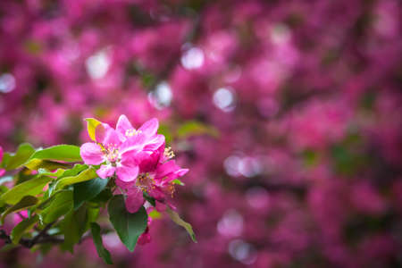 pink flowers with pink bokeh abstract light background horizontal photo