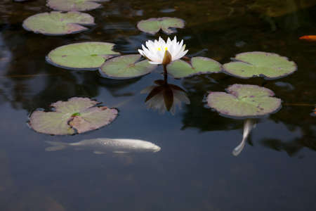 Pond with white waterlily and koi fish photo