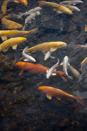 red gold and white koi fish in a pond photo