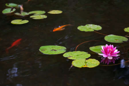 Pond with pink waterlily and koi fish photo