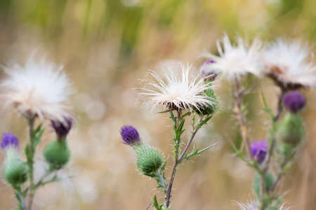 poky: group of a Pink Thistle flower on a blurred background