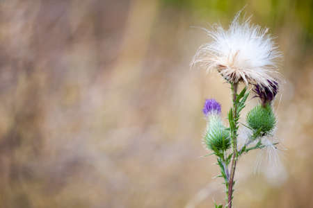 pokey: Pink Thistle flower on a blurred background