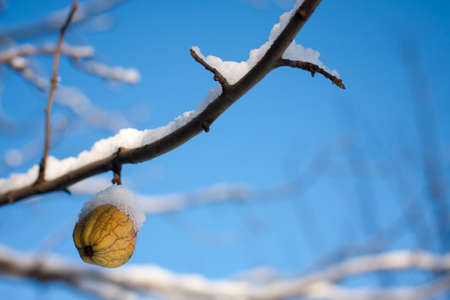 wrinkled apple on a branch in winter against the blue sky photo